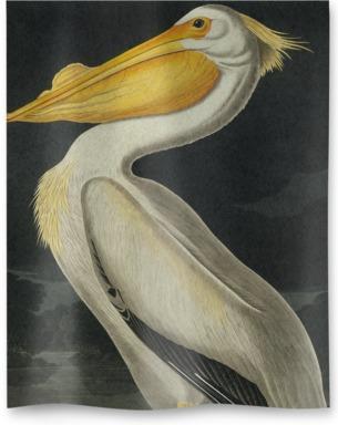 American White Pelican, Pelecanus Erythror