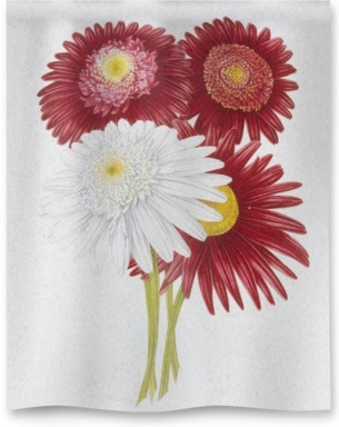 Chrysanthemum CVS
