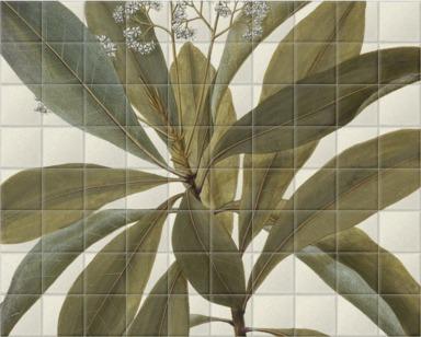Buchanania Arborescens