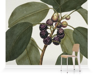 Ficus Superba var. Henneana