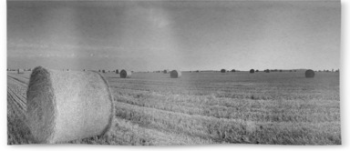 Round Wheat Bales In Field After Harvesting B&W