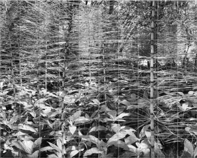 Marsh Horsetail B&W