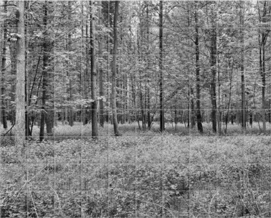Spring in Thetford Forest I B&W