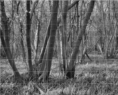 Bluebells and Coppiced Trees B&W