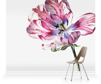 Study of Tulip