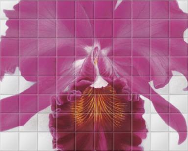 Cattleya avdentissimo 'St Albans'