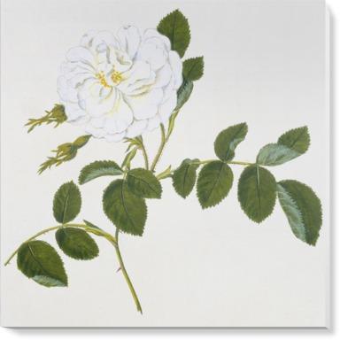 Rosa alba 'Maxima''