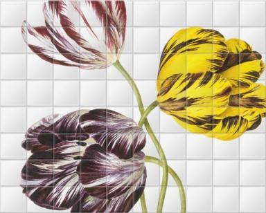 Tulipa 'The Claude & the Duke of Sutherland& the Duchess of Montrose'