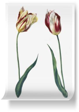 Tulipa 'Admiral Bataen'