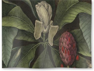 Magnolia: the umbrella tree