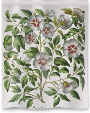 Alcca Syriaca Flora Candido