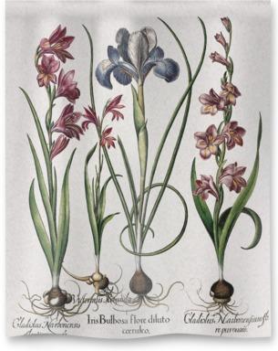 Gladiolus and iris plants