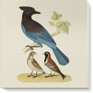 Steller's Jay and Lapland Longspur