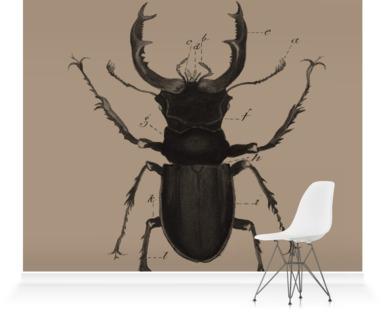 Lucanus Cervus - beetle COCOA