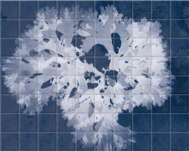 Thodomenia Lacineata Cyanotype