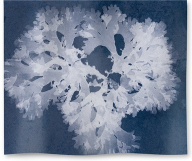 Thodomenia Lacineata Cyanotype