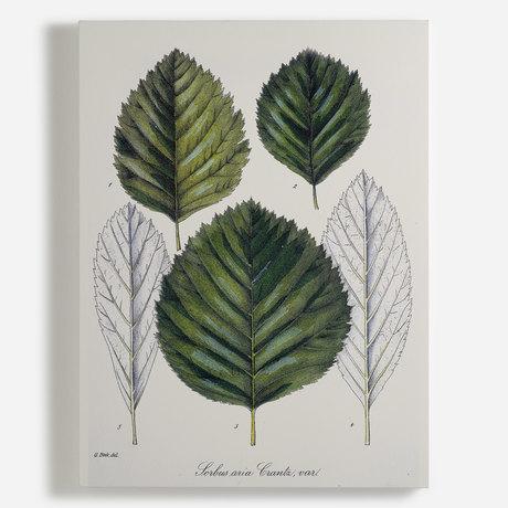 'Sorbus aria Crantz 117'