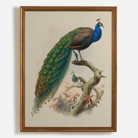 'Pavo Cristatus, Common Peafowl'