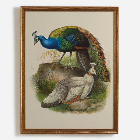 'Pavo Nigripennis, Black-Shouldered Peafowl'