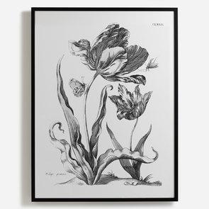'Tulipe Precoce'