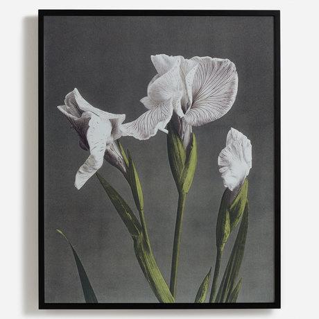 'Iris Kaempferi II'