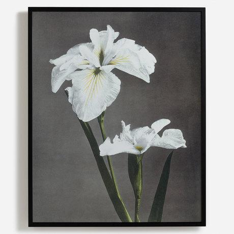 'Iris Kaempferi'