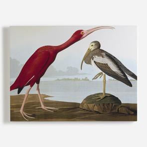 'Scarlet Ibis, Eudocimus Ruber'