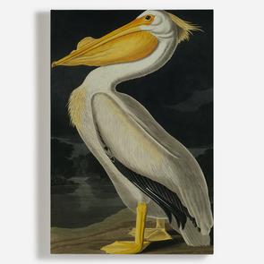 'American White Pelican, Pelecanus Erythror'