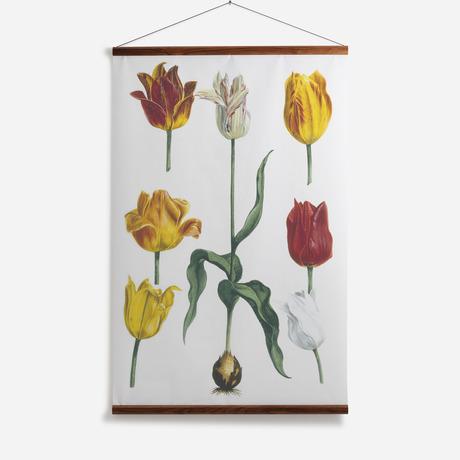 'Tulipa II'