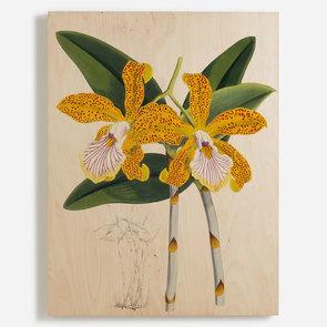'Cattleya Velutina'