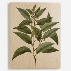 'Celtis Paniculata'