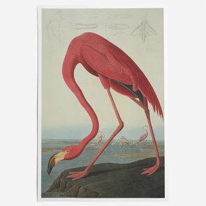'Greater Flamingo, Phownicopterus Ruber'
