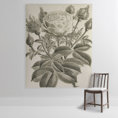'Rosa Cristata Crested Moss'