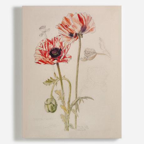 'Oriental Poppy'