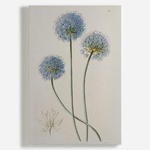 'Allium Caeruleum'