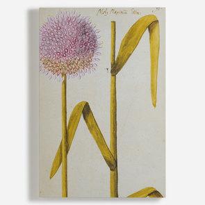 'Allium Moly'
