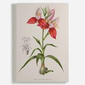 'Disa Grandiflora'
