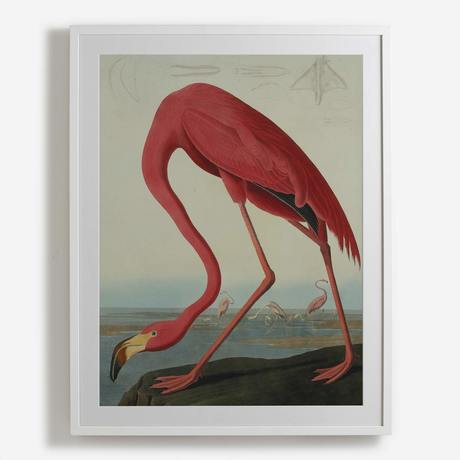 'Greater Flamingo, Phownicopterus Ruber'