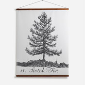 'Scotch Fir'