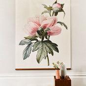 'Paeonia Lactiflora'