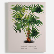 'Cabbage-tree Palm [Livistona australis]'