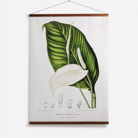 'Peace Lily [Spathiphyllopsis minahassae]'