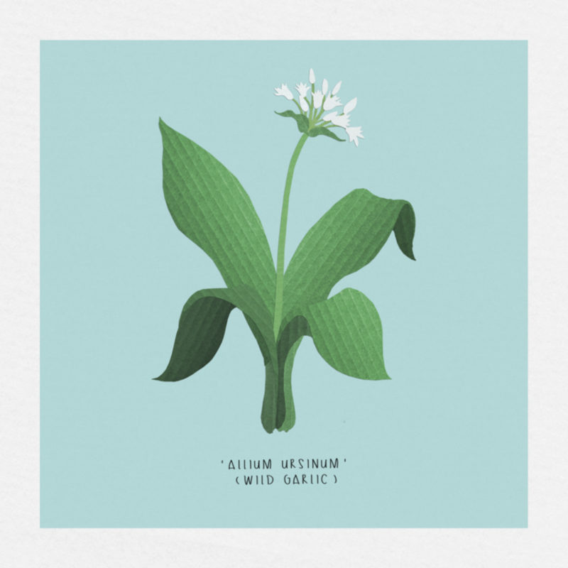 wild garlic limited edition print for sale