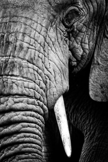 african elephant photograph for sale