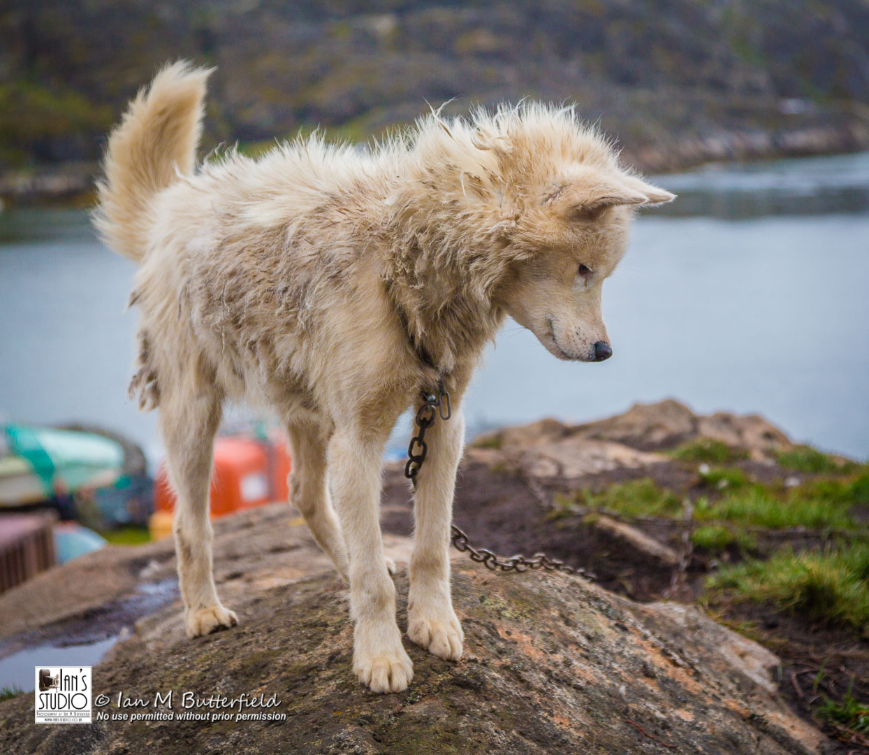 ACADEMY BITE: Lessons from Greenland #13 – A Greenland Sled Dog in Sisimiut