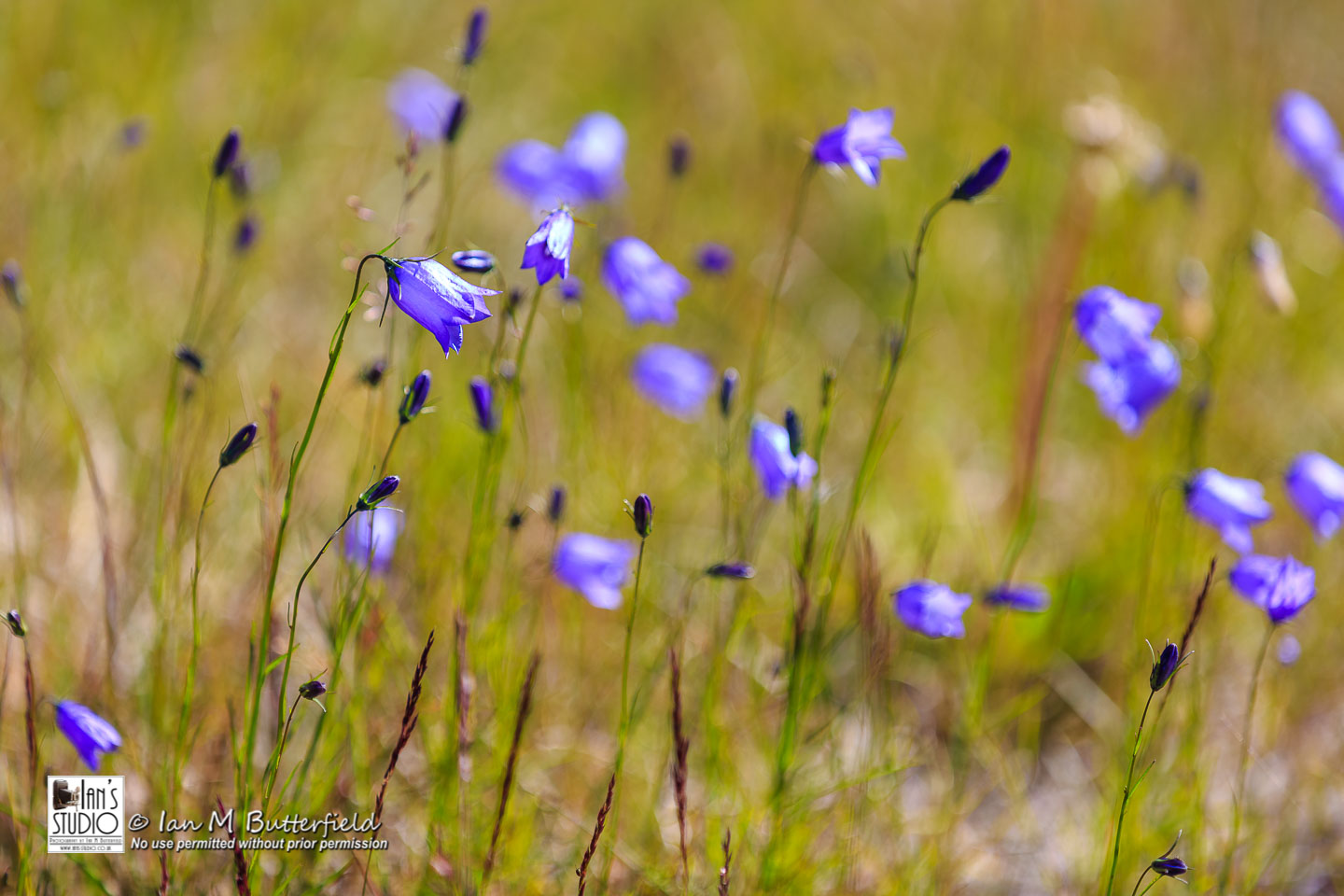 ACADEMY BITE: Flowers and Flowerscapes #4 – Harebells