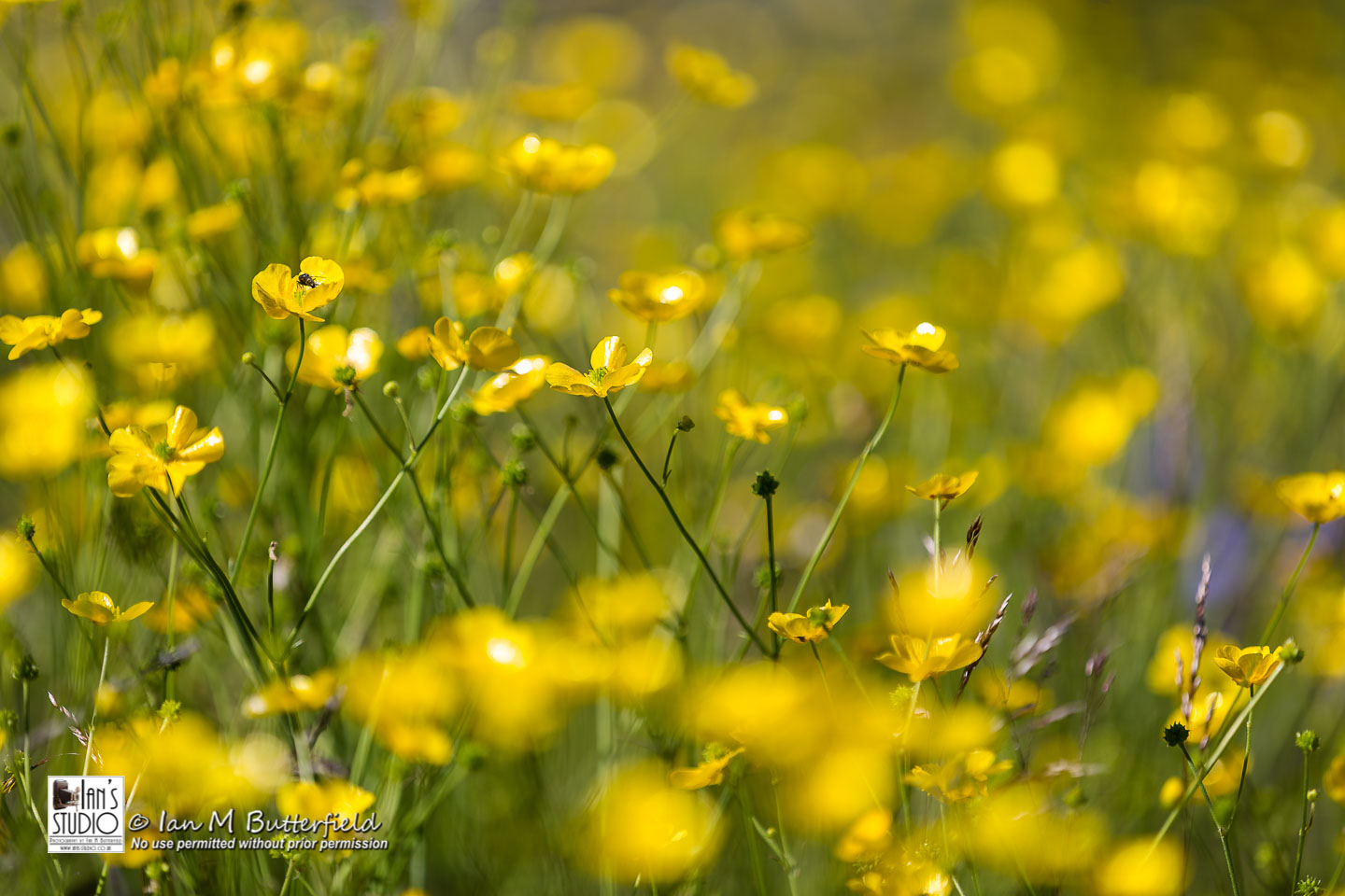 ACADEMY BITE: Flowers and Flowerscapes #5 – Greenland Buttercups