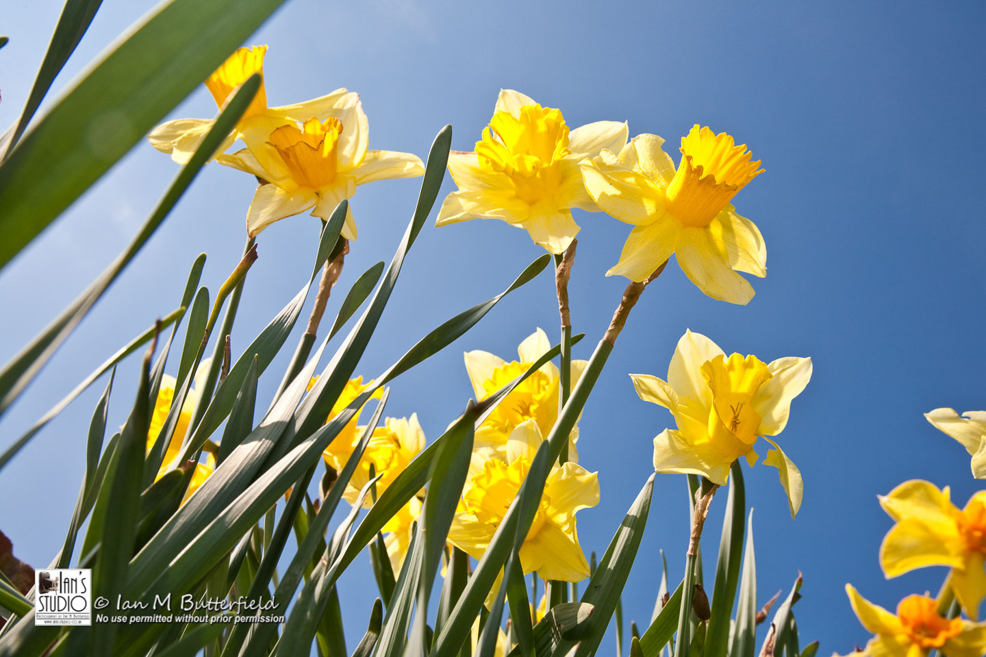 ACADEMY BITE: Flowers and Flowerscapes #7 – Daffodils at Bramall Hall