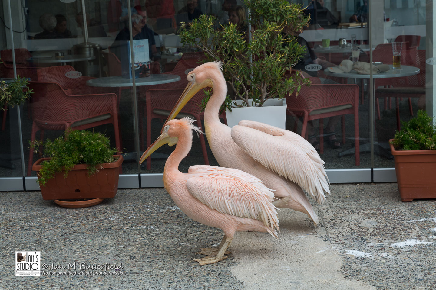 POTD 6 Apr 2019: Two Pelicans