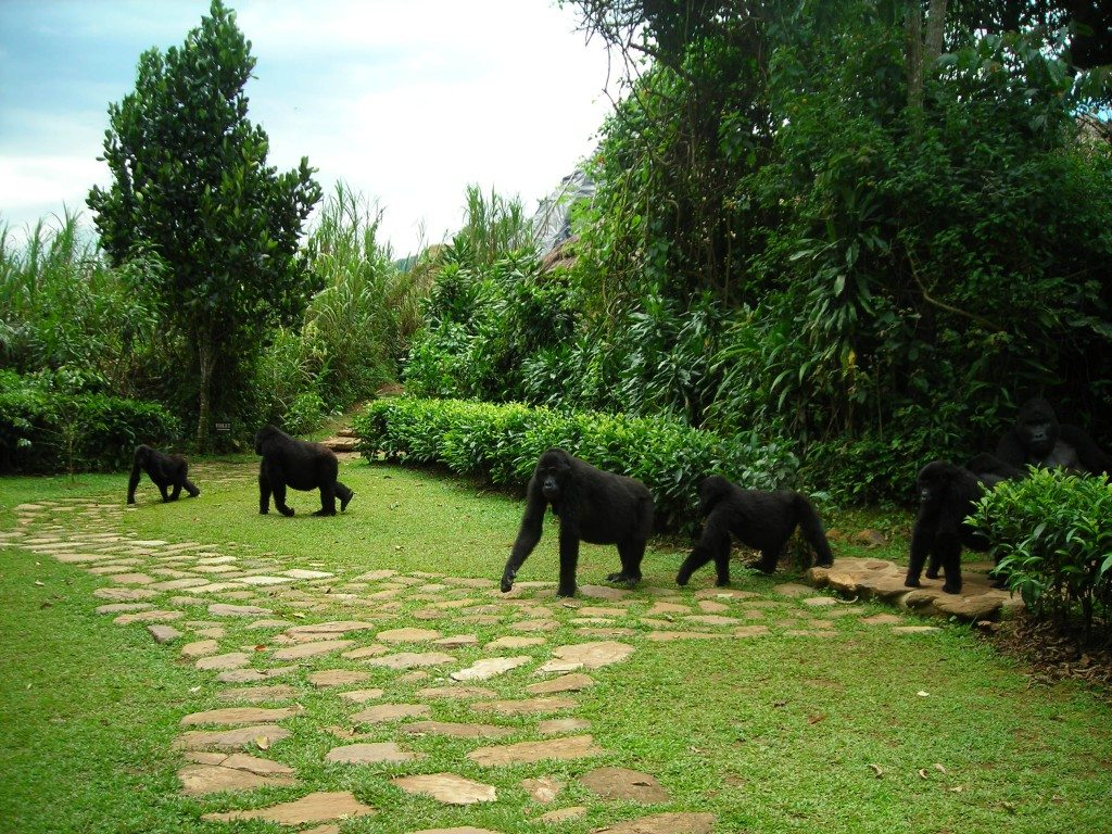 11-Bwindi-Gorillas-at-Lodge-1024x768